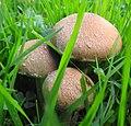 Fungi (29744902864).jpg