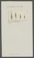 Furcularia furcata - - Print - Iconographia Zoologica - Special Collections University of Amsterdam - UBAINV0274 101 04 0015.tif