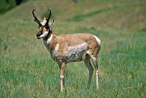 Männlicher Gabelbock (Antilocapra americana)