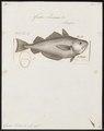 Gadus luscus - 1788 - Print - Iconographia Zoologica - Special Collections University of Amsterdam - UBA01 IZ14000099.tif