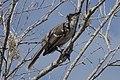 Galapagos Mockingbird (46867583275).jpg