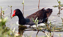 Gallinula galeata Common Gallinule Florida 750px.jpg
