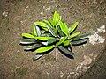 Garcinia travancorica-3-chemunji-kerala-India.jpg