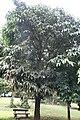 Garcinia xanthochymus 03.jpg