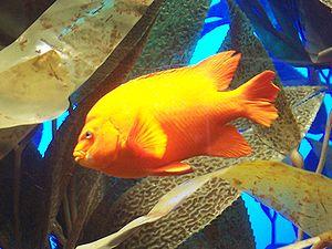 A Garibaldi Damsel fish photographed by Lonnie...