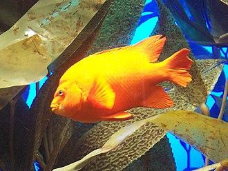 Garibaldi (fish) - Image: Garibaldi Damsel