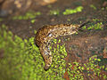 Gastropod from Uganda.jpg