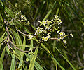 Geijera parviflora 3.jpg