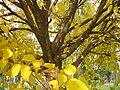 Gelso da carta - autunno.JPG