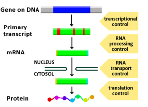 Regulation of gene expression - Diagram showing at which stages in the DNA-mRNA-protein pathway expression can be controlled