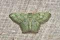 Geometridae (15872786889).jpg