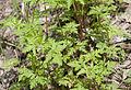 Geranium sp, Adana 06.jpg