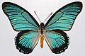 Giant Blue Swallowtail (Papilio zalmoxis) (8362447270).jpg