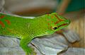 Giant Day Gecko (Phelsuma madgascariensis grandis) captive specimen (10328391205).jpg