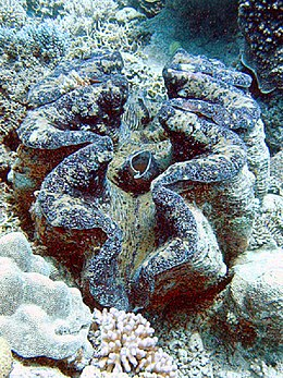 Giant clam or Tridacna gigas.jpg
