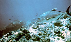 Giant trevally - A giant trevally patrolling a reef in Hawaii