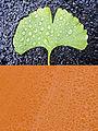 Gingko Rain (3993028346).jpg