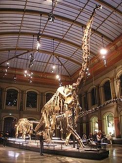 Giraffatitan brancai Naturkundemuseum Berlin.jpg