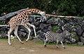 Giraffe and Zebra. (8656236071).jpg