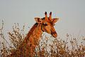 Giraffe giraffa camelopardalis male.jpg