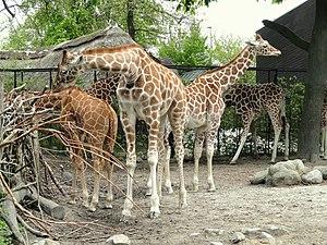 Marius (giraffe) - Giraffes at Copenhagen Zoo
