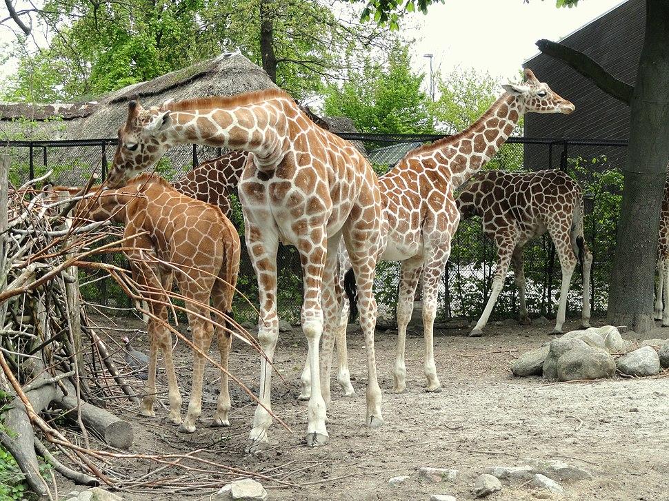 Giraffes - Copenhagen Zoo - DSC09012
