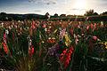 Gladiolen bei Brensbach.jpg