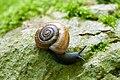 Glass snail Aegopinella ressmanni (9010133423).jpg