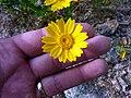 Glebionis segetum inflorescence (07).jpg