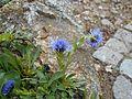 Globularia trichosantha 2017-04-17 7558.jpg