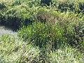 Glyceria maxima sl25.jpg