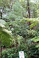 Glyptostrobus pensilis - Chengdu Botanical Garden - Chengdu, China - DSC03218.JPG