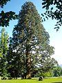 Gmunden Mammutbaum Toscanapark.jpg