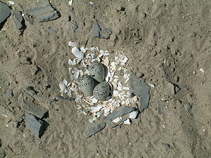 Three eggs, bluish with black speckling, sit atop a layer of white mollusc shells pieces, surrounded by sandy ground and small bits of bluish stone.