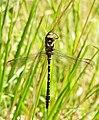 Golden-ringed dragonfly - geograph.org.uk - 844283.jpg