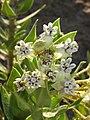 Gomphocarpus cancellata (Apocynaceae- Asclepiadiideae) (6929293513).jpg