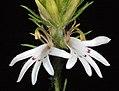 Goodenia fasciculata - Flickr - Kevin Thiele.jpg