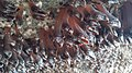 Goose Barnacles in a cave south of Cannon Beach, Oregon, Aug 2016.jpg
