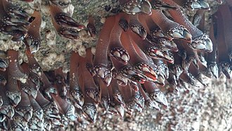 Goose barnacle - Gooseneck barnacles reaching down from the top of a tidal cave in Oregon