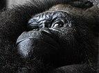 Gorilla gorilla gorilla - Loro Parque 01.jpg