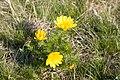 Gorocvet - Adonis vernalis.jpg