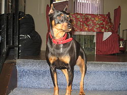 Miniature Pinscher Energetic Dog