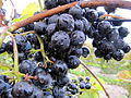 Grapes after rainfall in Fennville, Michigan.jpg