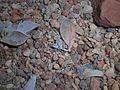 Graptopetalum paraguayense 2015-07-28 5268.jpg
