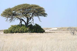 Angolan mopane woodlands Ecoregion (WWF)