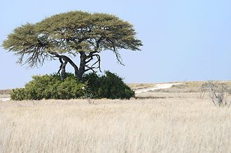 Angolan mopane woodlands - Grassland at Etosha National Park in Namibia