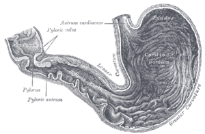 Pylorus - Inside of the stomach (pylorus labeled at center left)
