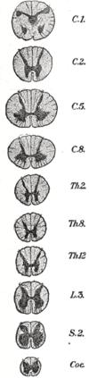 Tværsnit igennem rygmarvens forskellige deler.