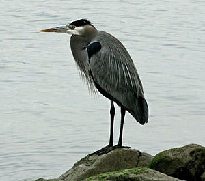 Benicia State Recreation Area - Great blue heron at Dillon Point, Benicia SRA 2009