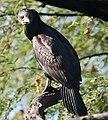 Great Cormorant I2-Bharatpur IMG 8515.jpg